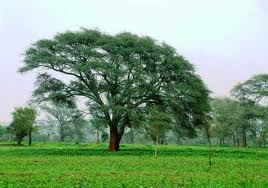 Pygeum Tree - used to make extract for prostate problems